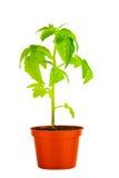 La piantina di giovane pianta di pomodori in vaso da fiori è isolata su bianco Immagine Stock