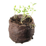 La piantina di timo o il serpyllum del timo con cotiledone verde due ed allinea le foglie in zolla di suolo isolata su fondo bian Fotografie Stock