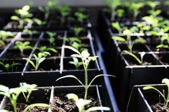 La piantina nei raggi soleggiati che crescono in scatole, agricoltore del pomodoro della molla si preoccupa Immagini Stock Libere da Diritti