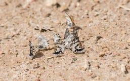 La pianura ha marcato a caldo le farfalle blu di falkensteini di Uranothauma sulla terra Fotografia Stock