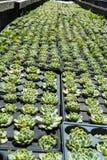 La piccola agricoltura del cactus ha allineato nell'agricoltura del giardino botanico Fotografia Stock Libera da Diritti
