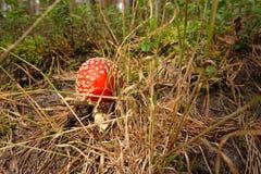 La piccola amanita del fungo si sviluppa in una foresta Fotografia Stock Libera da Diritti