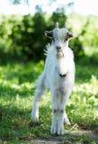 La piccola capra sta levandosi in piedi nell'erba Immagine Stock Libera da Diritti