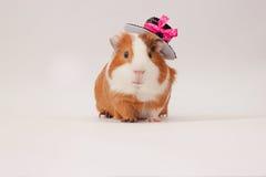 La piccola cavia dai capelli rossi ha decorato il cappello Fotografia Stock Libera da Diritti
