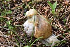 La piccola e grande lumaca nell'erba Fotografia Stock