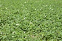 La piccola erba fiorisce il primo piano Fotografia Stock Libera da Diritti