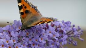 La piccola farfalla di carapace, mosca parassitaria, bella di sturmia video d archivio