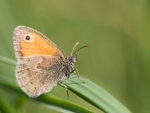 La piccola farfalla di pamphilus di Coenonympha della brughiera che si siede su una lama di erba verde fotografia stock libera da diritti