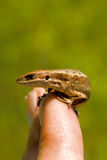 La piccola lucertola selvaggia Fotografia Stock Libera da Diritti
