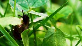La piccola lumaca in erba sta guardando intorno e poi si nasconde nelle loro coperture stock footage