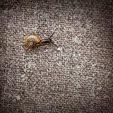 La piccola lumaca striscia su una tela di canapa Fotografia Stock