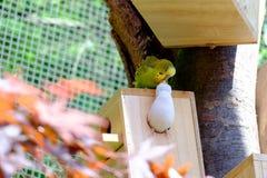 La piccola pertica del pappagallo sul nido fatto di legno Fotografia Stock
