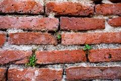 La piccola pianta cresce in muro di mattoni rosso, fondo di lerciume di struttura Immagine Stock