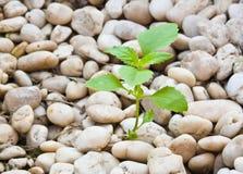 La piccola pianta si sviluppa in su su ghiaia Immagini Stock Libere da Diritti