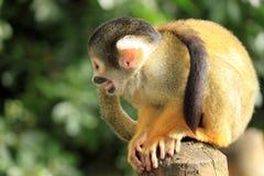 La piccola scimmia fotografie stock libere da diritti