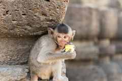 La piccola scimmia gode di di mangiare il cereale immagini stock