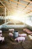 La piccola stalla del porcellino è mangiante e crescere sull'azienda agricola, è un'industria della carne di maiale fotografia stock
