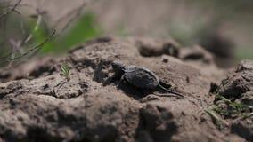 La piccola tartaruga sta camminando sulla terra video d archivio