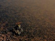La piccola tenuta rossa della libellula sulla roccia immagini stock libere da diritti