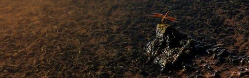 La piccola tenuta rossa della libellula sulla roccia immagini stock