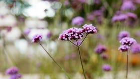 La piccola viola fiorisce la verbena Immagine Stock Libera da Diritti