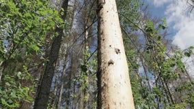 La picea se coloca en el bosque con un tronco dañado almacen de video