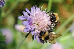 La piel de ante atada manosea la abeja (los terrestris del Bombus) Imagen de archivo libre de regalías
