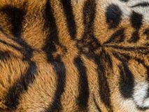 La piel del tigre Fotografía de archivo libre de regalías