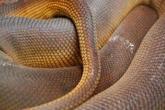 La piel en espiral de Python amatistino escala el detalle Imagen de archivo