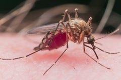 La piel penetrante del mosquito se llena de sangre roja Imagen de archivo libre de regalías