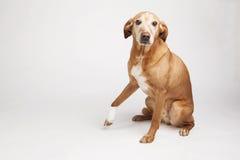 La pierna de los dog's de Brown se envuelve en un vendaje Imágenes de archivo libres de regalías