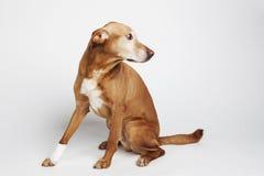 La pierna de los dog's de Brown se envuelve en un vendaje Imagenes de archivo