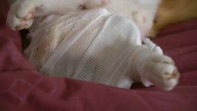 La pierna del gato herido con el vendaje al lado de las herramientas del tratamiento médico almacen de metraje de vídeo