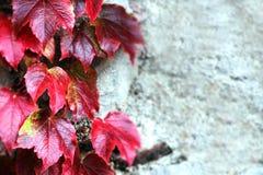 La pierre bloque le vieux mur, avec l'unpon de feuilles il Images libres de droits