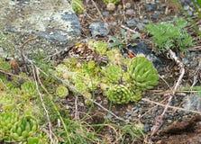 La pietra è aumentato in natura, struttura Fotografia Stock