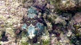 La pietra del pesce è mascherata underwater in oceano di fauna selvatica le Filippine video d archivio