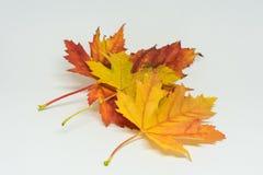 La pila de otoño coloreó las hojas aisladas en el fondo blanco Colores rojos y coloridos amarillos del follaje en la temporada de Foto de archivo libre de regalías
