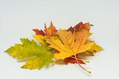 La pila de otoño coloreó las hojas aisladas en el fondo blanco Colores rojos y coloridos amarillos del follaje en la temporada de Imagenes de archivo