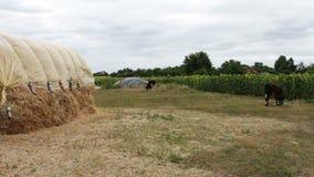 La pila grande de heno o de paja cubierta con polietileno se seca debajo del cielo abierto Una forma para los animales del campo  metrajes