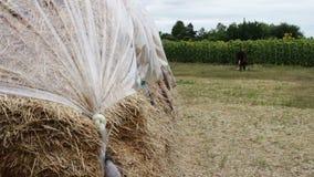 La pila grande de heno o de paja cubierta con polietileno se seca debajo del cielo abierto Una forma para los animales del campo  almacen de video