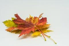 La pile de l'automne a coloré des feuilles d'isolement sur le fond blanc Le feuillage rouge et coloré jaune colore en automne la  Image stock