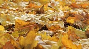 La pile de vieilles feuilles jaunes d'érable est tombée à la terre dans l'automne en retard Photos stock