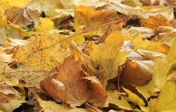La pile de vieilles feuilles jaunes d'érable est tombée pendant l'automne sur l'herbe Photos stock