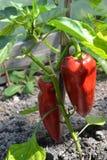 La pimienta de Bulgarianpepper de las verduras pone verde la cosecha a Fotos de archivo