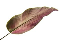 La Pin-banda Calathea di ornata di Calathea va, fogliame tropicale isolato su fondo bianco, con il percorso di ritaglio immagini stock libere da diritti