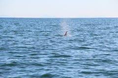 La pinna dorsale di un'orca è visibile sopra le acque dell'oceano Pacifico vicino alla penisola di Kamchatka, Russia immagine stock