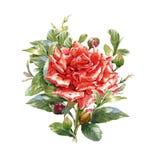 La pintura de la acuarela de la flor, subió en el fondo blanco Imágenes de archivo libres de regalías