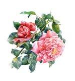 La pintura de la acuarela de la flor, subió en el fondo blanco Fotografía de archivo libre de regalías