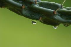 La pioggia cade fuori il cactus Fotografie Stock Libere da Diritti