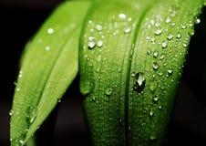 La pioggia cade l'alto contrasto del foglio Fotografia Stock